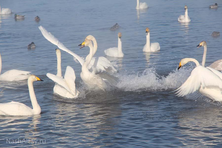 Заказник «Лебединый»