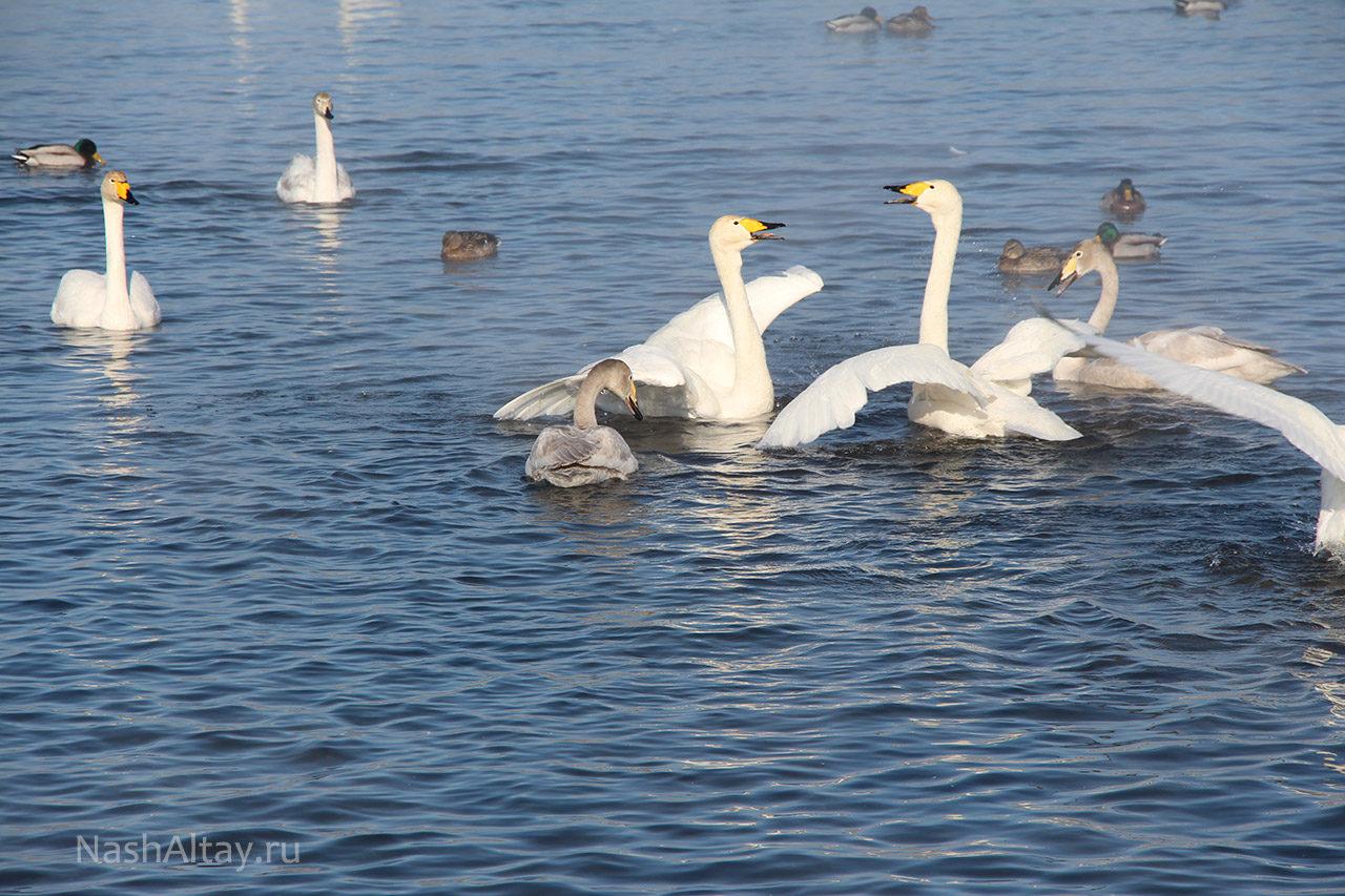 Лебеди-кликуны готовятся к перелету